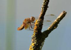 Feuerlibelle weibl. Crocothemis erythraea (c) Christa Brunner