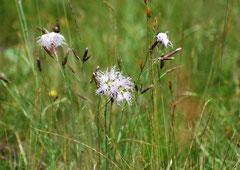 Prachtnelke Dianthus superbus(c) Christa Brunner