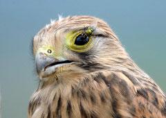 Turmfalke Falco tinnunculus (c) Christa Brunner