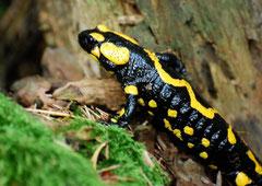 Feuersalamander Salamandra salamandra (c) Christa Brunner