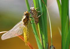 Plattbauch Libelle weibl. aus der Excuvie geschlüpft Libellula depressa (c) Christa Brunner