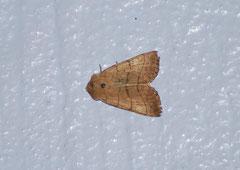 Dreilinieneule Charanyca trigrammica (c) Christa Brunner