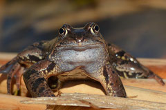 Grasfrosch Rana temporaria (c) Christa Brunner