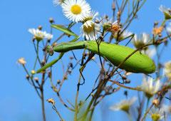 Gottesanbeterin Mantidae (c) Christa Brunner