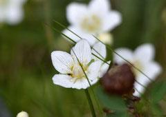 Sumpf-Herzblatt Parnassia palustris (c) Christa Brunner