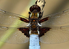 Plattbauch Libelle männl. Libellula depressa (c) Christa Brunner