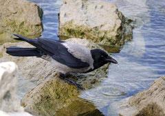 Nebelkrähe Corvus corone cornix (c) Christa Brunner