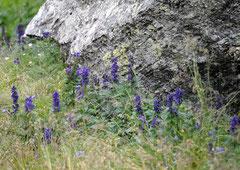 Blauer Eisenhut Aconitum napellus (c) Christa Brunner