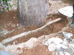 Von Wurzeln ein Platt gedrücktes Rohr