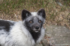 Polarfuchs Portrait