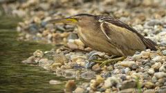 Zwergdommel Weibchen lauert am Teichufer