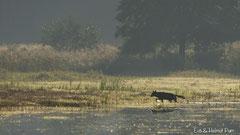 Wolf am Ufer im Gegenlicht am frühen Morgen