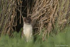 Hermelin lugt aus seinem Versteck
