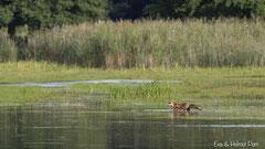 Rotfuchs auf dem Weg zum gegenüberliegenden Ufer