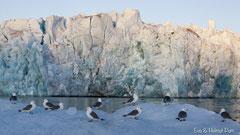 Dreizehenmöwen vor Gletscher