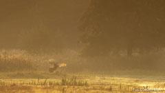 Hirschbrunft: dampfender Rothirsch im goldenen Gegenlicht der aufgehenden Sonne