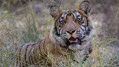 Junger Bengaltiger, Portrait