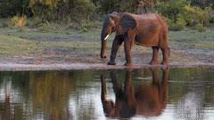 Elefantenkuh mit Spiegelbild