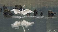 Silberreiher jagend nach Fischen