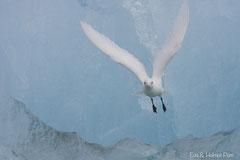 Elfenbeinmöwe vor blauer Eiswand fliegend