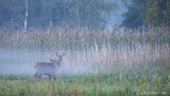 Hirschkuh mit Hirschkalb im Nebel
