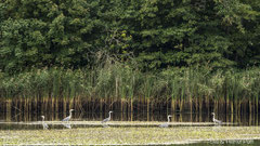 Graureiher im Teich vor Schilfbestand