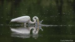 Silberreiher auf Fischfang