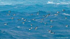 Kapsturmvögel im blauen Südpolarmeer