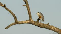 Graureiher auf dem Ast eines toten Baumes