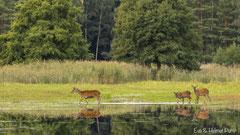 Hirschkuh mit Kälbern quert den Teich