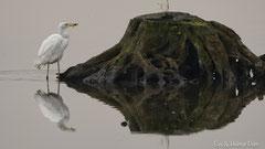 Silberreiher mit Fisch