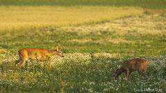 Rehbock und Rehgeiss in der Sommerwiese