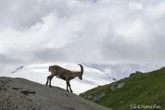 Steinbock im Hochgebirge