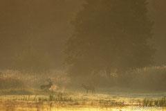 Hirschbrunft: vor Erregung dampfender Rothirsch und Spießer stehen sich im roten Morgennebel gegenüber