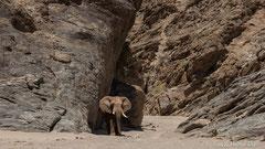 Wüstenelefant im Felsentor - Hoanib Trockenflussbett