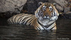 Bengaltiger verbringt die Hitze des Tages im kühlen Nass