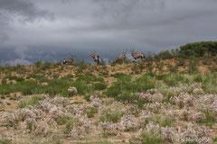 Oryxantilopen und blühende Guernseylilien oder Nerinen