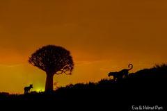 Begegnung von Leopard und Schakal unter Köcherbaum