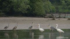 Graureiher und Silberreiher im seichten Uferbereich