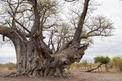 Baobab-Afrikanische Affenbrotbaum (Adansonia digitata)
