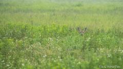 Rehgeiss lugt aus neugierig aus der hohen Sommerwiese hervor