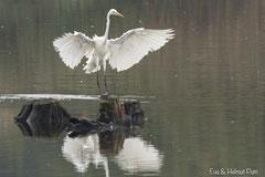 Silberreiher Landung