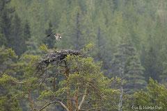 Fischadler fliegt Horst an