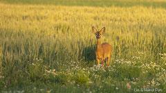 Rehgeiss im Abendlicht vor Getreidefeld