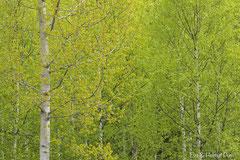 Frisches Grün auf Birken im Frühling