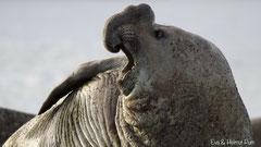 Südlicher See-Elefantenbulle brüllend