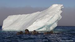 Walross Weibchen vor Eisberg