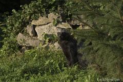 Marderhund vor Steinwand