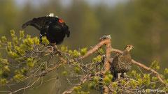 Birkhahn und Birkhenne bei der Baumbalz