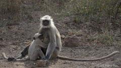 Bengalischer Hanumanlangur, Weibchen mit Jungtier
